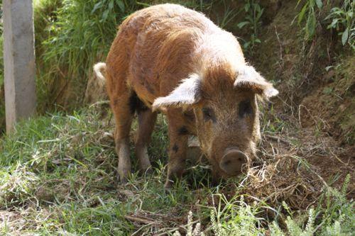 Pig Porn - 04