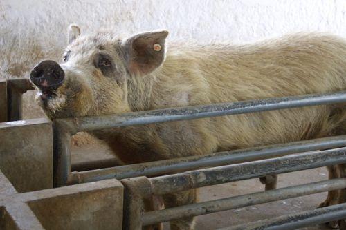 Pig Porn - 53